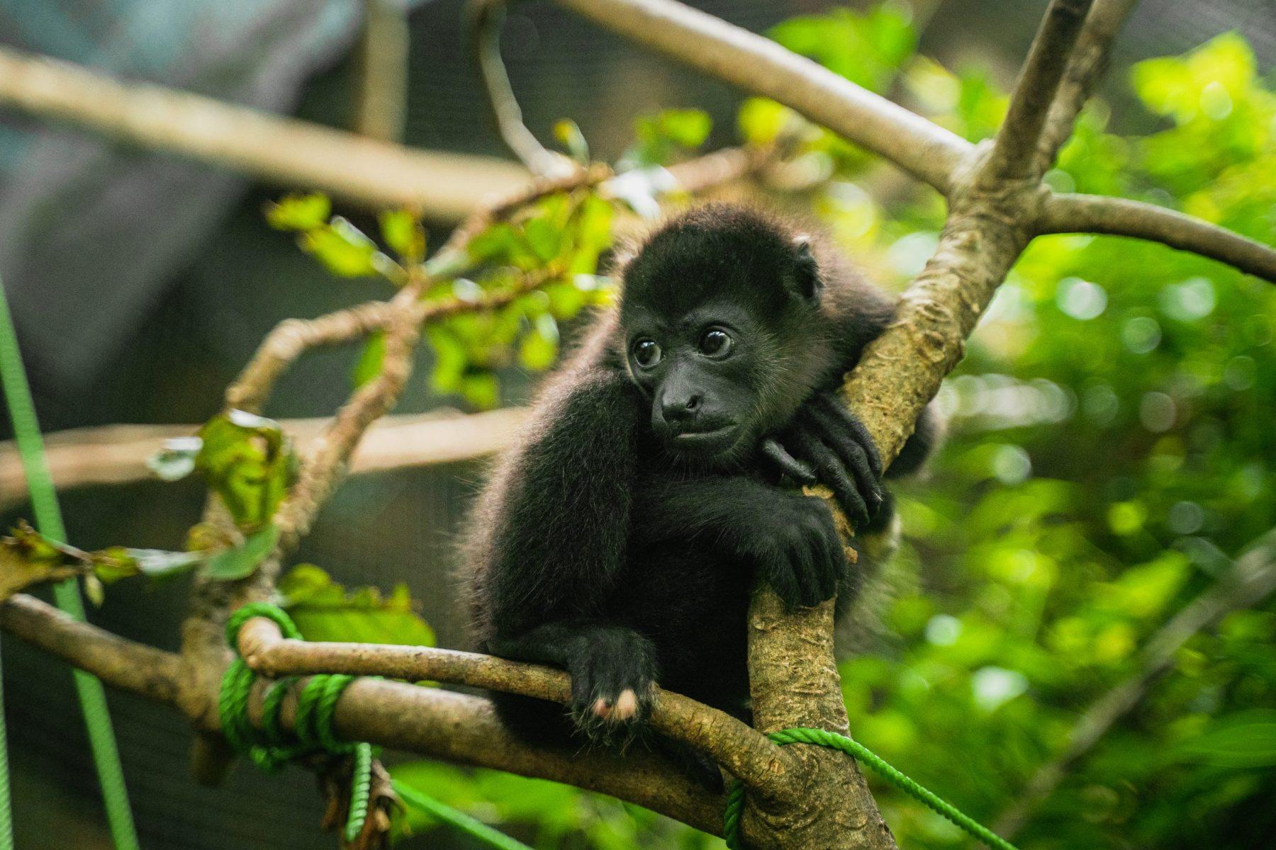 howler monkey rescue in costa rica