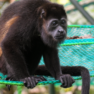 disabled howler monkey costa rica