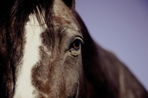 Cavallo (2)