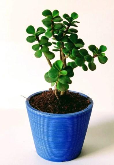 क्रासुला का पौधा कैसे लगाये