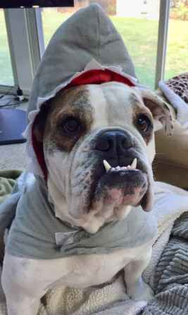 adorable bulldog pics - Layla shark