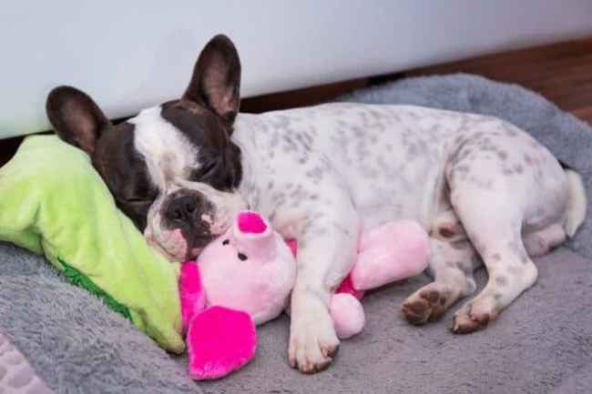 French Bulldog Sleeping - Passive Income Ideas While Sleeping