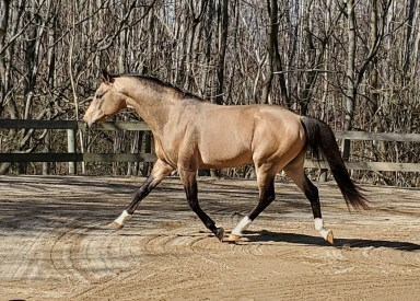 German Riding Pony Stallion - Grover