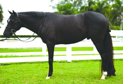 Welsh Pony Cross Stallion - Boca's Entourage