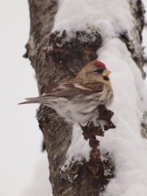 Snowy Redpoll