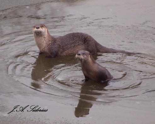 Curious Otters