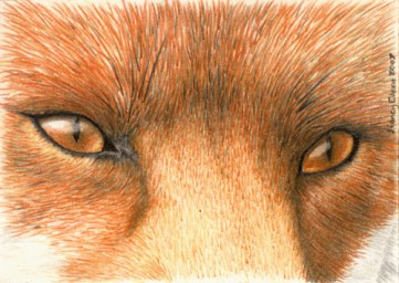 Title: Red Fox Eyes ACEO, Artist: Sidney Eileen, Medium: colored pencil on paper