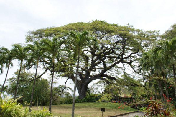 400 jähriger Saman Baum St. Kitts