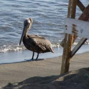 Pelikan wartet geduldig auf Reste Bay Road
