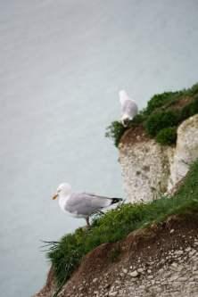 Möwe auf den Kreidefelsen von Dover