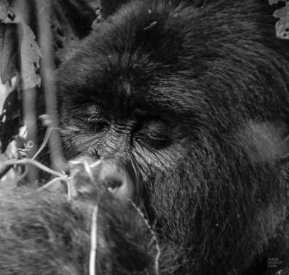 congorwanda-9605 - Aux pays des gorilles, le Congo et le Rwanda - rwanda, destinations, congo, afrique, a-faire