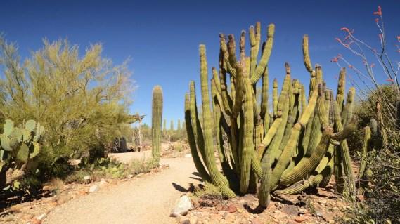 cactus Saguaro - Saguaro National Park - Tout sur Tucson - Amérique, États-Unis, Arizona