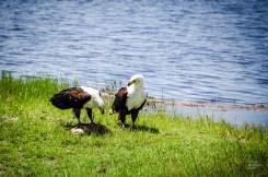 aigles mangent poisson - parc national de chobe - Botswana… La nature a l etat pur! - afrique, botswana