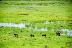 phacocheres - parc national de chobe - Botswana… La nature a l etat pur! - afrique, botswana