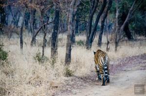 tigre 2 - parc national de ranthambore - L Inde du Nord en quatre étapes - Asie, Inde