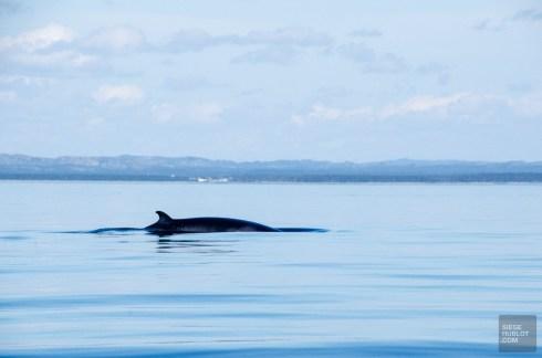 baleine rorqual commun - Escapade l Archipel de Mingan, Cote-Nord, Quebec - Quebec