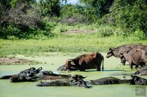 buffles d'eau - Elephants, crocodiles et paons - Sri Lanka, au cœur de l ile - Asie, Sri Lanka