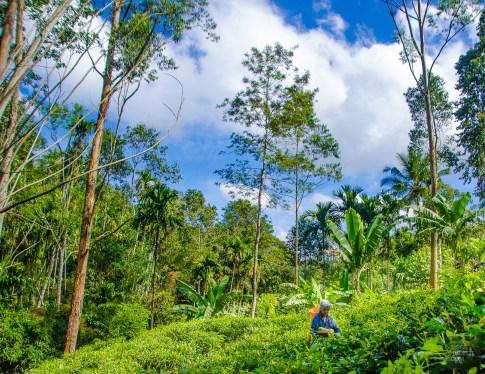 randonnee - plantation - the -The-train-et-pont-Sri-Lanka-au-cœur-de-l-ile-Asie-Sri-Lanka