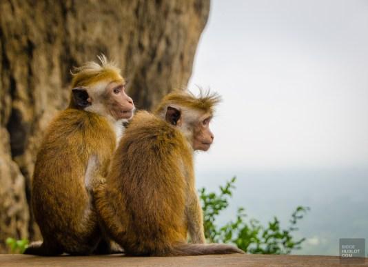 singes - vieilles cites, temples et monasteres - Sri Lanka, au cœur de l ile - Asie, Sri Lanka
