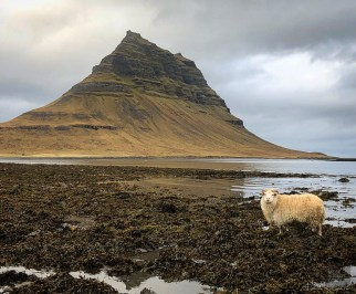 mouton islande