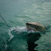 requin attaque tete de thon - face-a-face avec un grand requin blanc - Dose d'adrénaline en Afrique du Sud - Afrique, Afrique du Sud