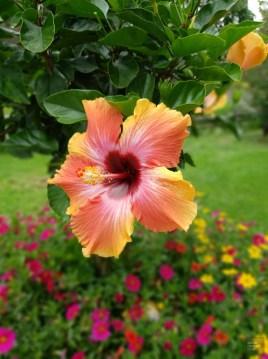 Hibiscus - Rouyn-Noranda - Une virée en Abitibi-Témiscamingue - Amérique du Nord, Canada, Québec