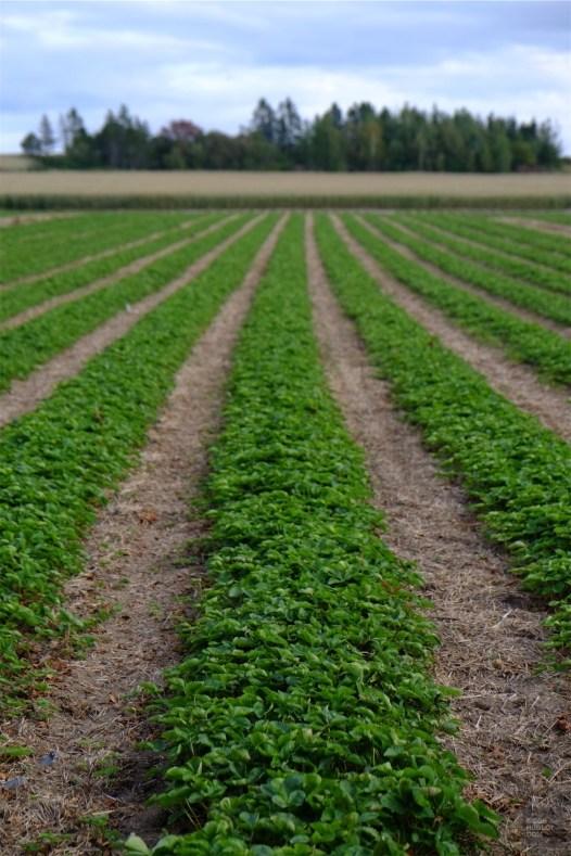 Champ de légumes - Fraisière Lebel - Un épicurien à Rivière-du-Loup - Amérique du Nord, Canada, Québec, Bas St-Laurent