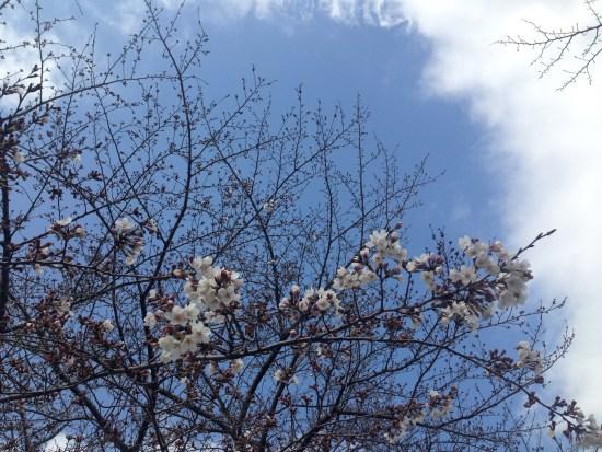 出羽公園の桜