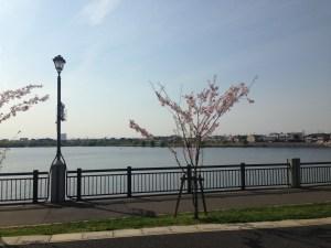 レイクタウンと桜