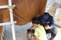 こもれび森のイバライドの乳搾り体験。小さな子供も一人でできる