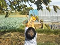 子供と一緒に柿取り。田舎で色々体験させたい