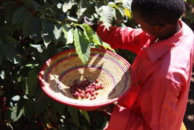 Picking Ethiopian cherries