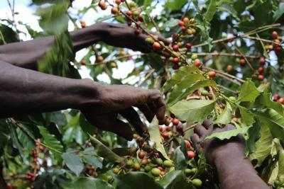 Picture of coffee harvest in Kenya