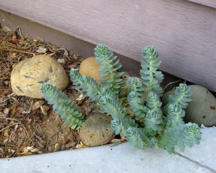Donkeytail spurge, Euphorbia myrsinites