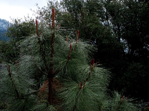 Ponderosa pine decorated Nature's way