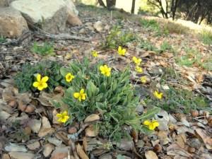 California Golden Violet Viola pedunculata CA X