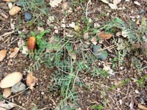 California vetch, Vicia Hassei, a CA native, but not in my meadow.