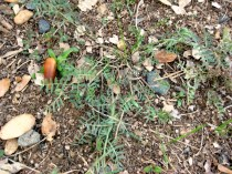 California vetch seedling Vicia hassei CA native
