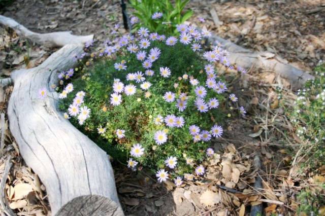 Brachyscome multifida, Rock Daisy