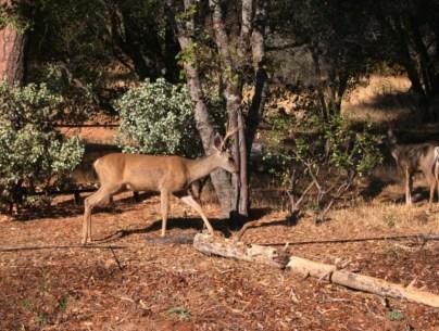 2007-9 Deer in the garden & Rain (6)