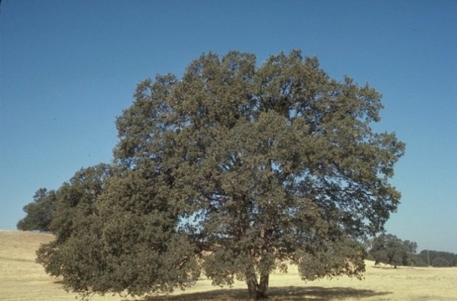 Blue Oak, Quercus douglasii, are found along Hwy 49 and do have a blue cast