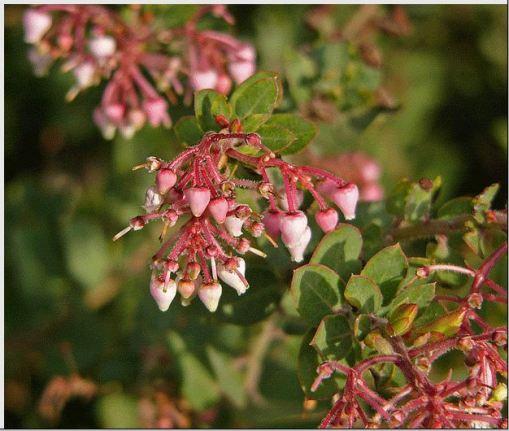 Arctostaphylos ´Lester Rowntree´ Manzanita
