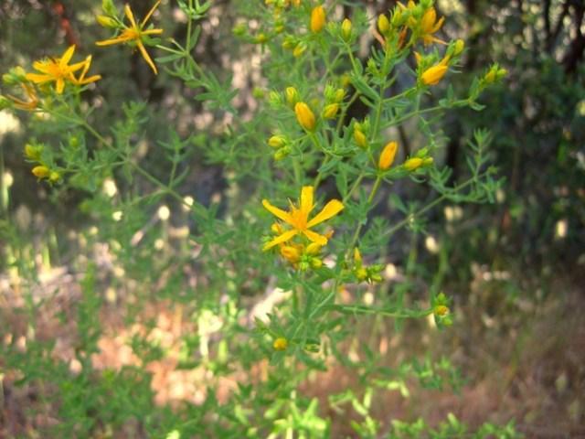 Klamath weed Hypericum perforatum