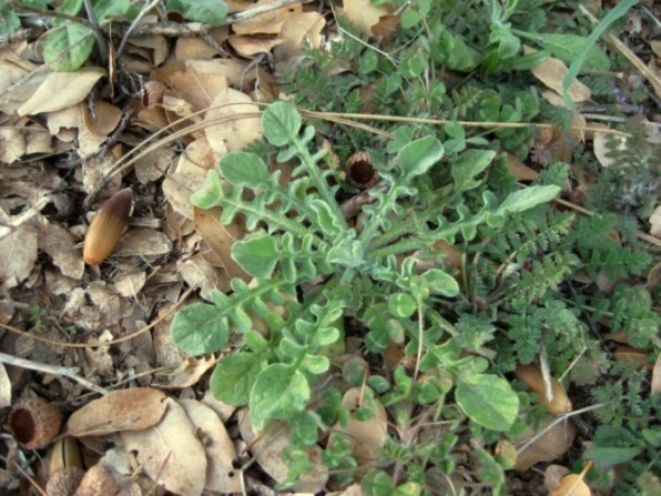 Napa star thistle, Centaurea melitensis
