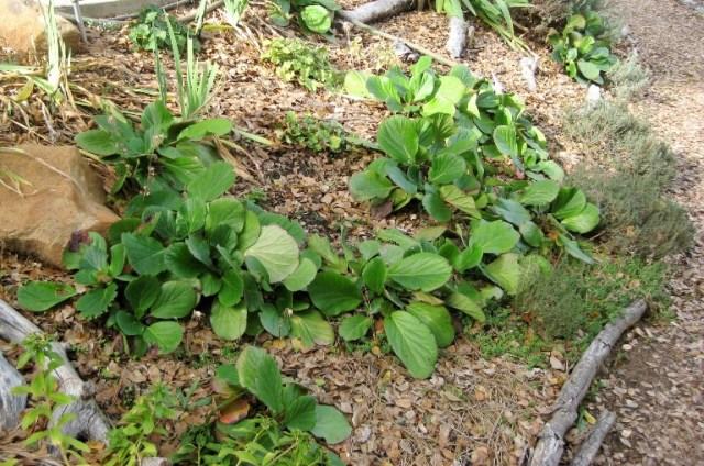 Bergenia mixed with Yellow sedum, Iris and Heuchera