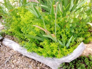 Lime green Marjoram with Spiky Bearded iris