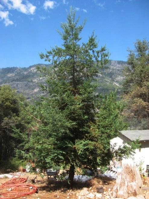 Sequoia sempervirens Coast Redwood 'Soquel'