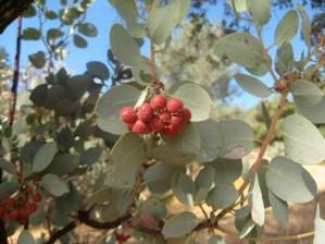 Red berries of the native Manzanita