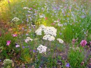 Meadow in early summer