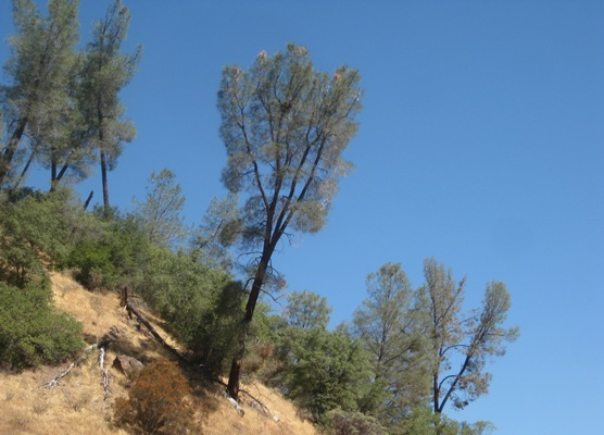 Bull pines try to grow straight on steep hillsides